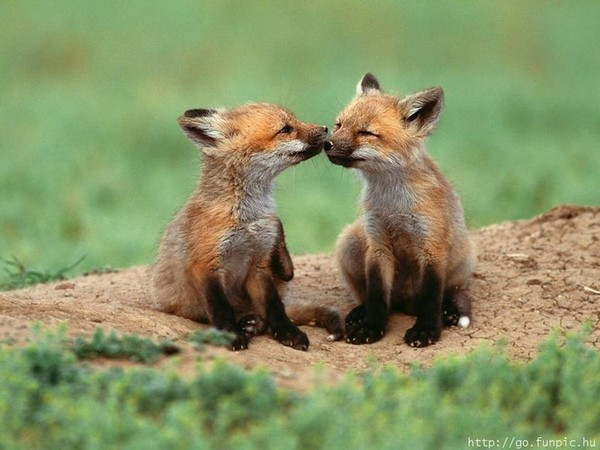 Câlins de renards
